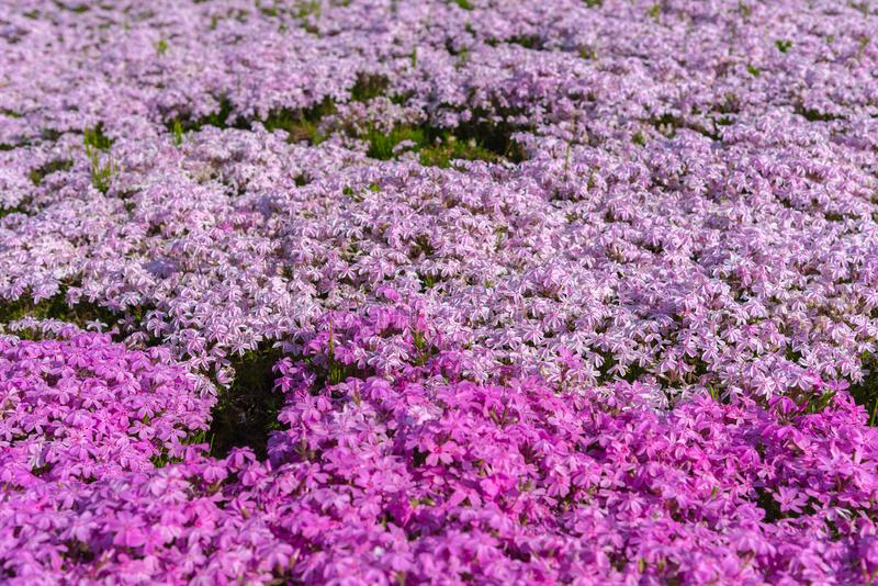 Close-up small delicate pink white moss Shibazakura, Phlox subulata flowers full blooming on the Ground in sunny spring day. Shibazakura festival in stock photos