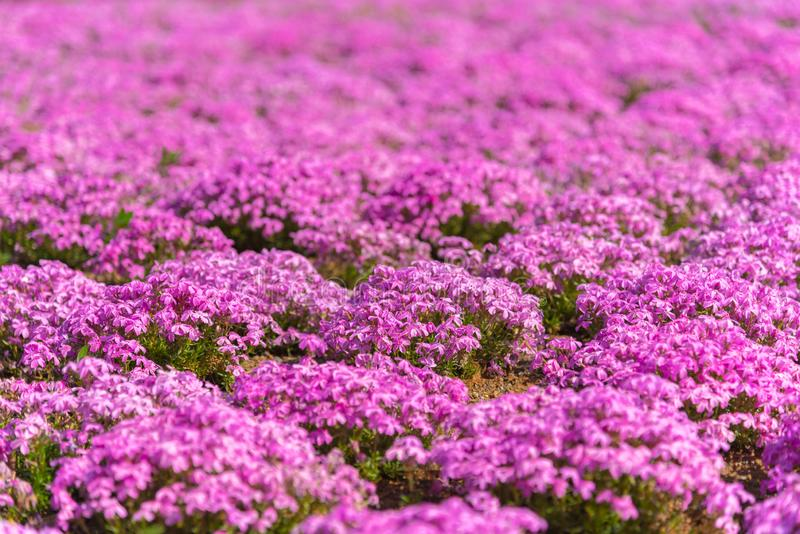 Close-up small delicate pink white moss Shibazakura, Phlox subulata flowers full blooming on the Ground in sunny spring day. Shibazakura festival in royalty free stock photography