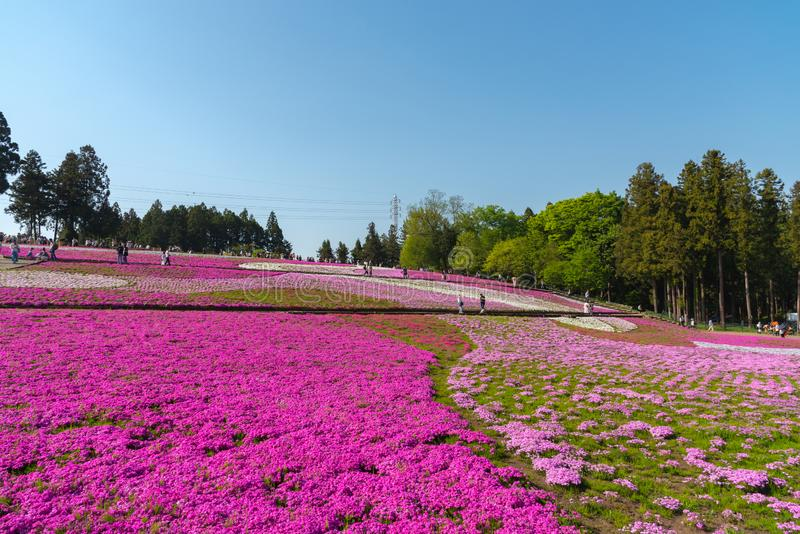Close-up small delicate pink white moss Shibazakura, Phlox subulata flowers full blooming on the Ground in sunny spring day. Shibazakura festival in stock photography
