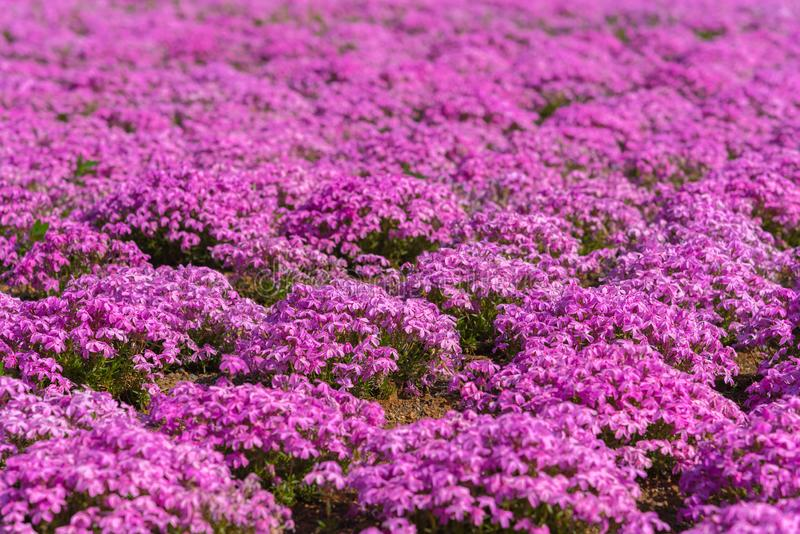 Close-up small delicate pink white moss Shibazakura, Phlox subulata flowers full blooming on the Ground in sunny spring day. Shibazakura festival in stock photo