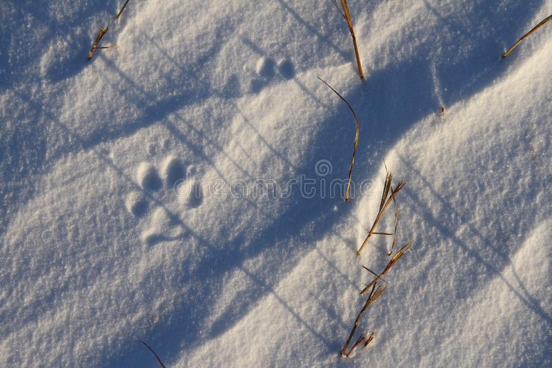 Close-up of small dog paw prints or tracks in snow near Arviat. Nunavut Canada royalty free stock photography