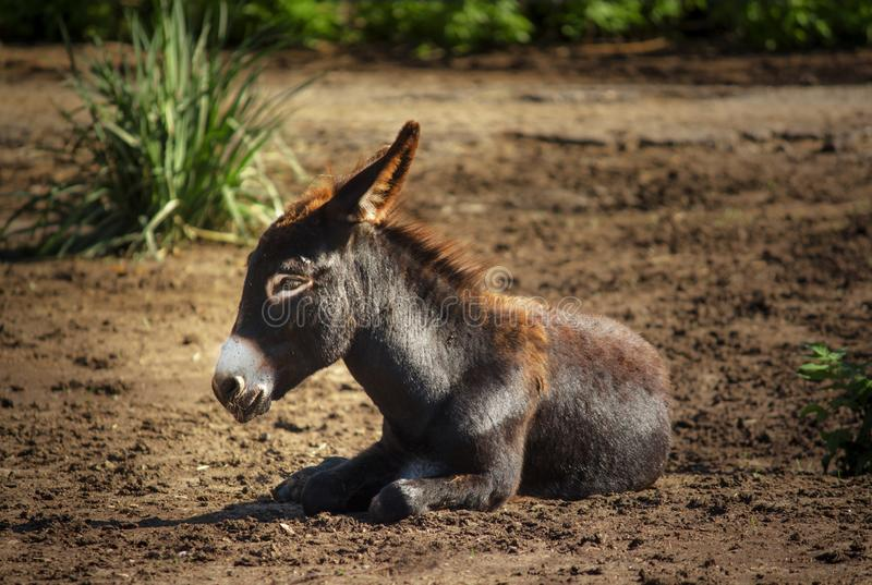 Close-up of a small donkey on a natural background, unrecognizable place stock photos
