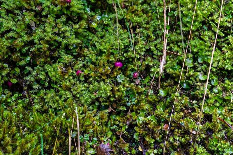 Close up of small green alpine plant texture with bright pink berries royalty free stock image