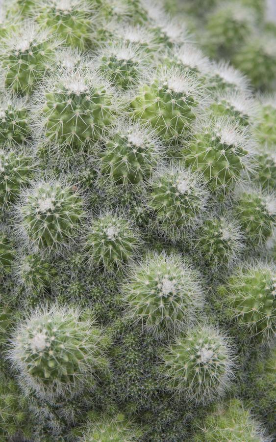 Close up of small green cactus. stock image