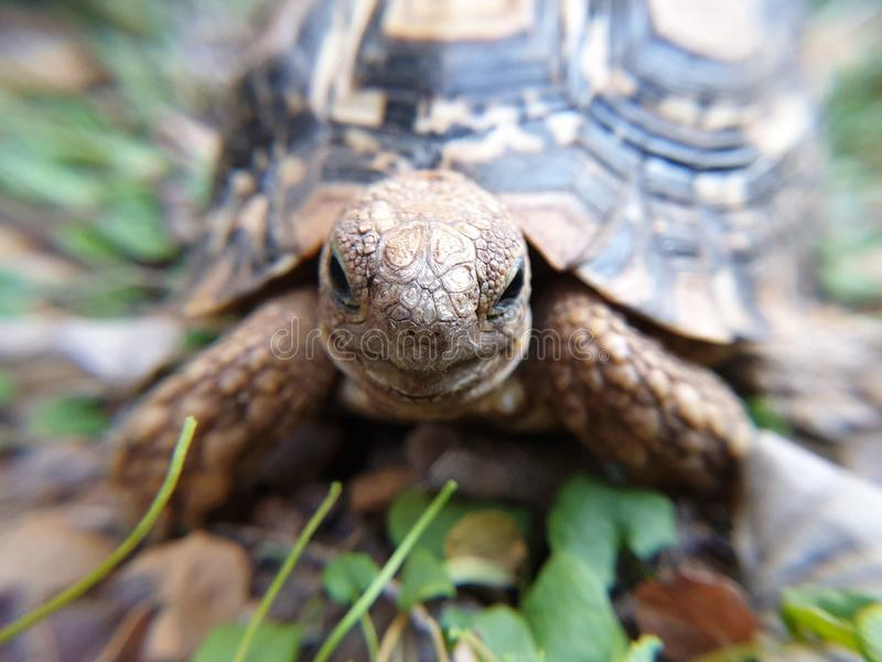 Close-up of a small leopard tortoise royalty free stock images