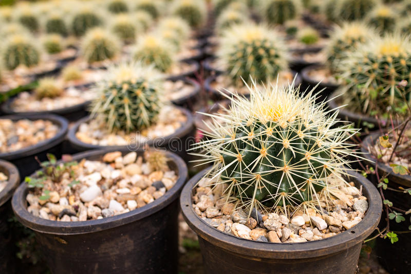 Close up small many cactus in the pots stock photo