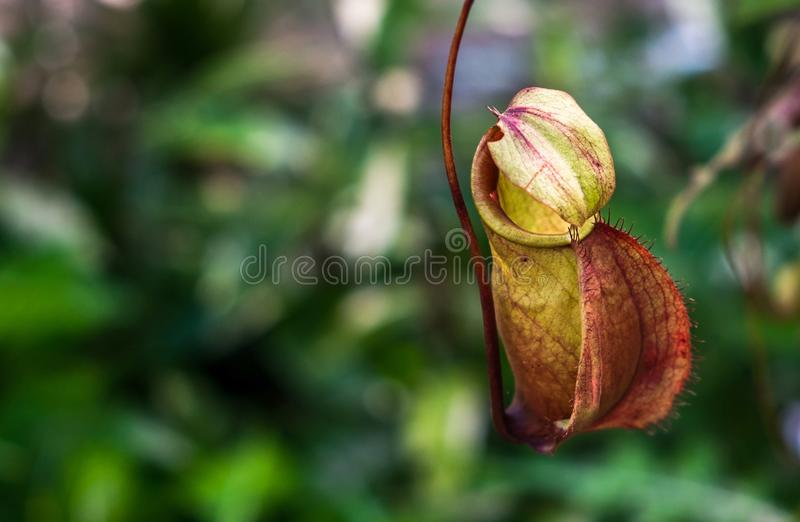 Close up a small Nepenthes in tropical forest royalty free stock photos