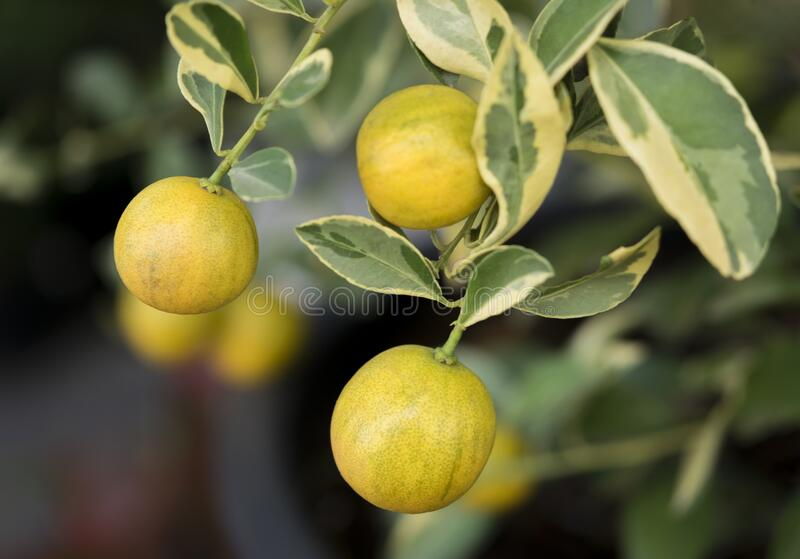Close-up of small oranges tree with spotted leaves.The fruit eatable with high vitamin C and the small tree use for decoration. Close-up small branch of oranges royalty free stock photo