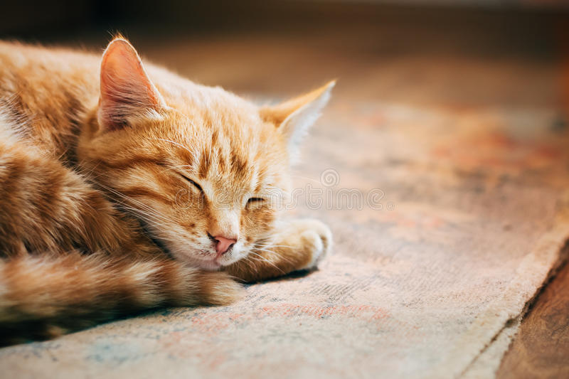 Close up of Small Peaceful Orange Red Tabby Cat Male Kitten Curl. Ed Up Sleeping In His Bed On Laminate Floor. Heat in house royalty free stock photos