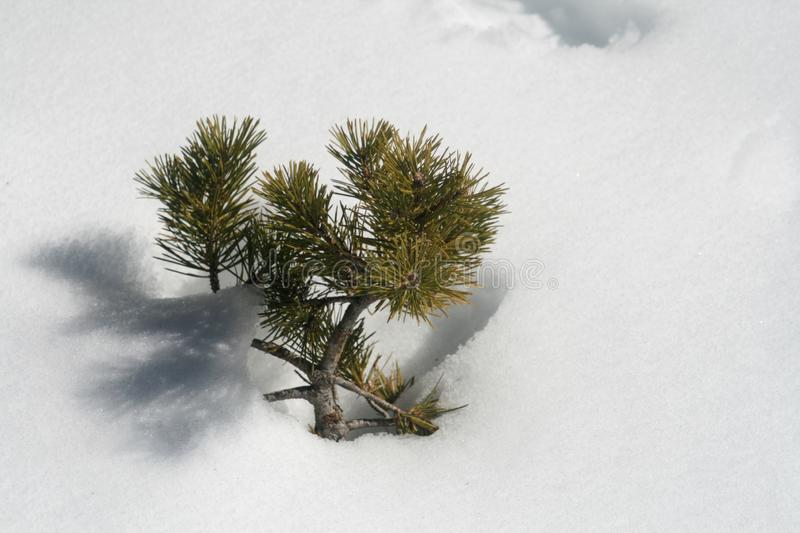 Pine tree branch in the snow. Close-up of a small pine tree branch downfallen into the snow stock photos