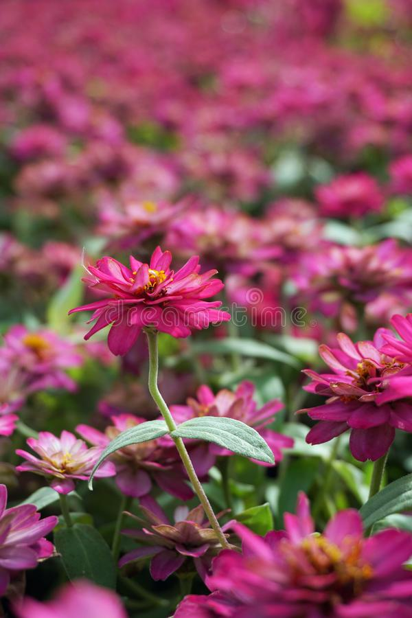 small pink flowers field background stock images