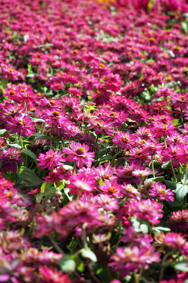 small pink flowers field background royalty free stock images