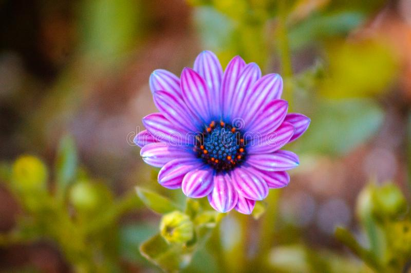 Close up of a small purple and blue flower blooming on a sunny spring day in Grand Rapids Michigan royalty free stock photography