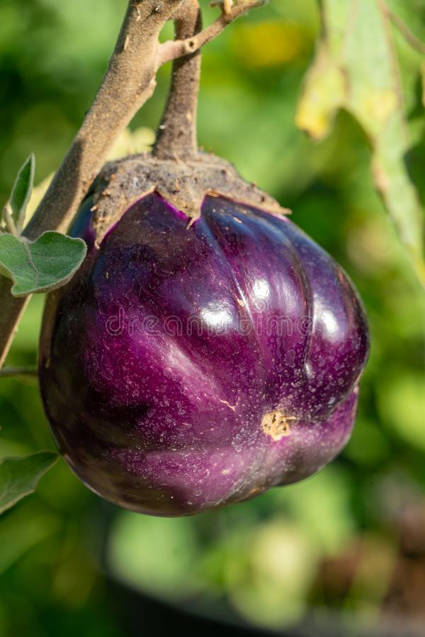 Close up of small purple pepper fruits growing on a branch. In a vegetable garden in bright sunshine royalty free stock image