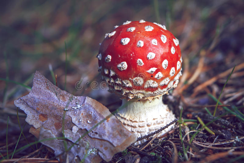 Close-up of a small, round red and white fly agaric, Amanita muscaria, in autumn. Close-up of a small, round red and white fly agaric, among pine needles, grass stock photo