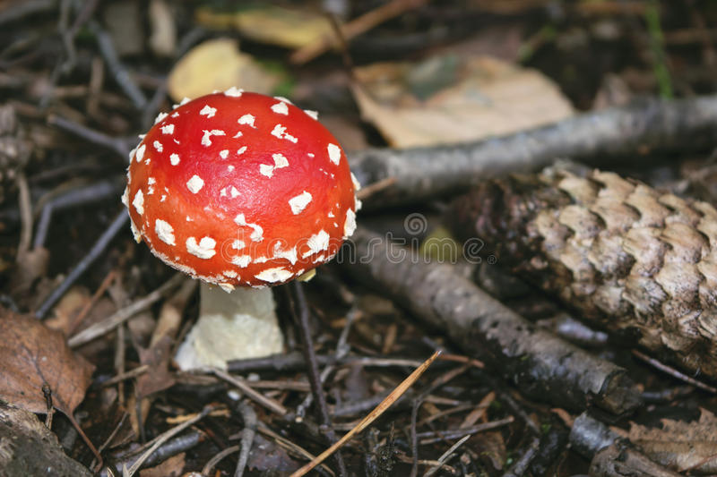 Close-up of a small, round red and white fly agaric, Amanita muscaria, in autumn. Close-up of a small, round red and white fly agaric, among pine needles, pine stock photos
