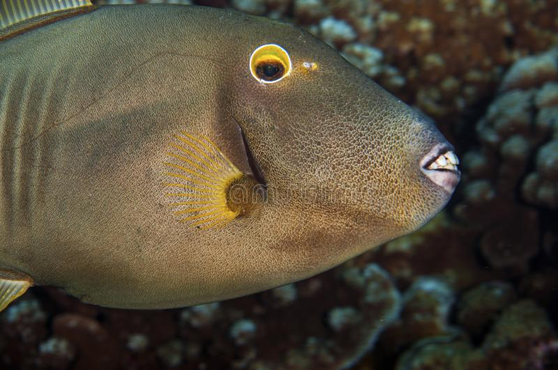 Small Scale Trigger Fish royalty free stock image