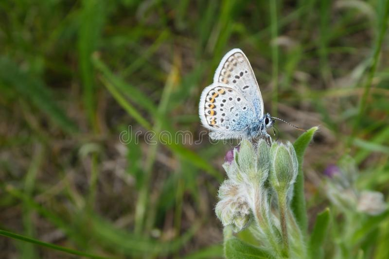 Close-up of a small silver-blue butterfly Plebejus argus collects pollen from a flower. Copy space available stock photos