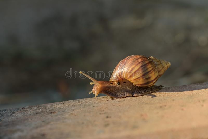 Close-up of Small Snail Slow Walking on soil floor. In the tropical forest royalty free stock image