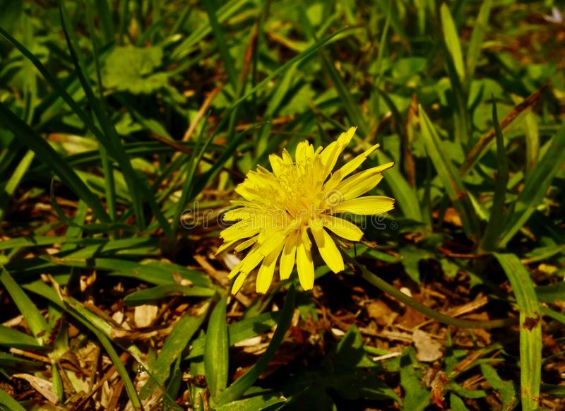 Macro of a small yellow flower blooming in spring royalty free stock images