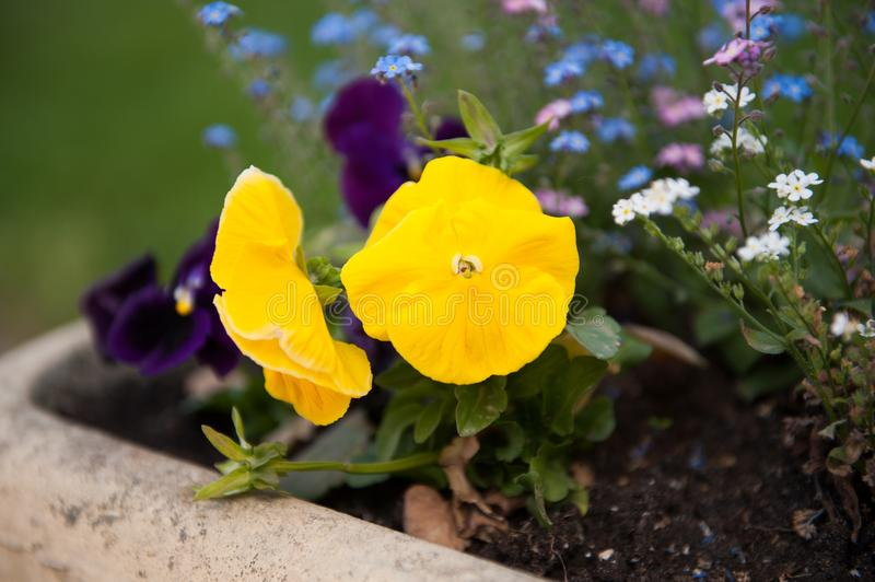 Close up of a small yellow flower in a park. Outdoor flowers. stock photos