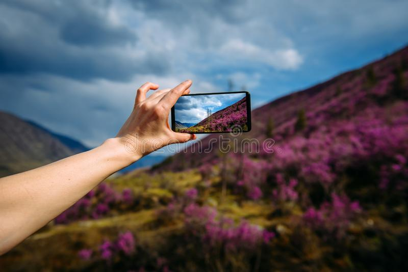 Close-up of smartphone in hand. Unknown woman using a gadget takes photos of a mountain slope covered with pink flowers royalty free stock images