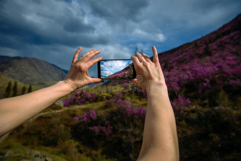Close-up of smartphone in hands. Unknown woman using a gadget takes photos of a mountain slope covered with pink flowers. Focus on hands and phone. Digital royalty free stock photo