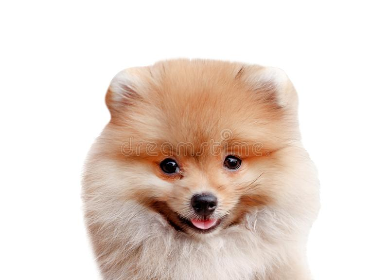Smiling adorable gray with brown fluffy pomeranian dog head isolated on white background , animal with happy face royalty free stock image