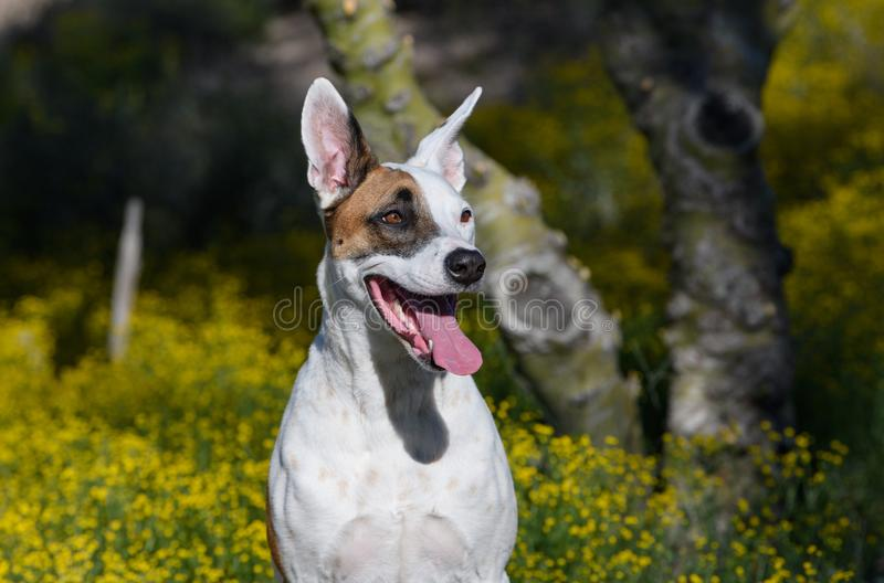 Close up of a smiling dog in the yellow flowers. Close of of a white dog smiling in the super bloom yellow wildflowers royalty free stock photography