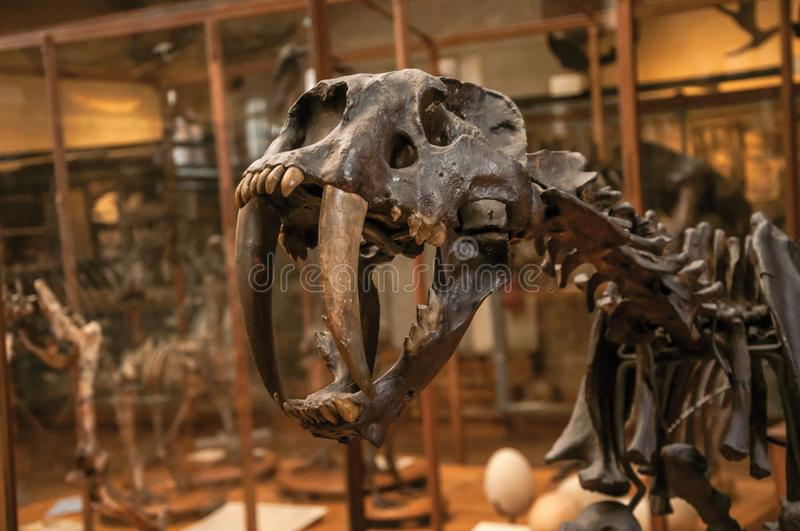 Close-up of Smilodon skull at hall in Gallery of Paleontology and Comparative Anatomy in Paris. Paris, northern France - July 10, 2017. Close-up of Smilodon stock photo