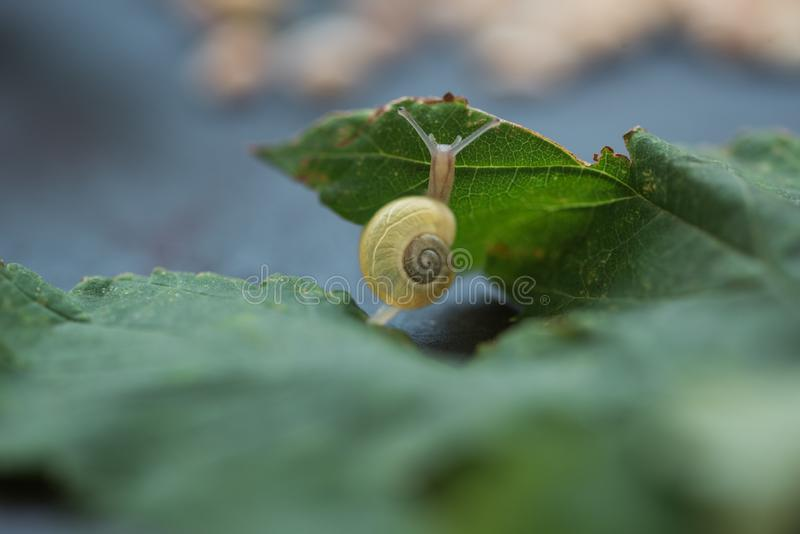 Close-up snail crawling on green leaf. Macro. Soft focus royalty free stock images