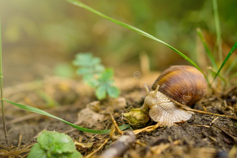 Close up of snail crawling on soil in forest stock image