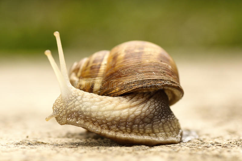 Close up of a snail. Macro shot of a common garden snail Cornu aspersum royalty free stock images