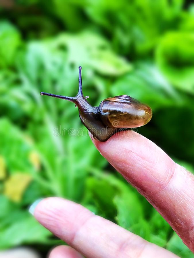 Close up of a snail, perched on a womans fingertips stock photo
