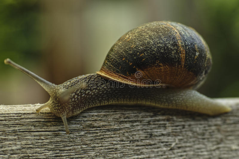 Close Up of a snail. royalty free stock images
