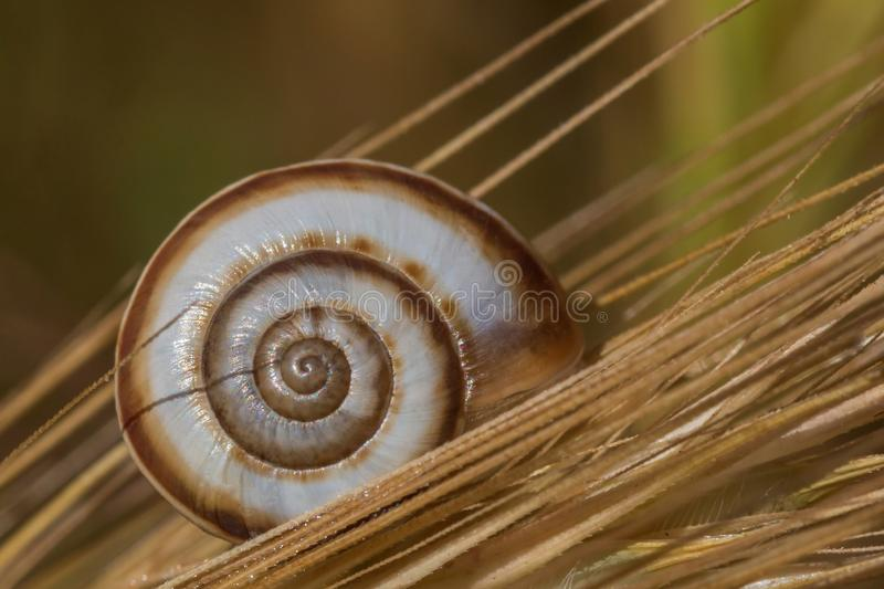 Close up of snail on a wild rye. Close up of shell of snail on a wild rye stock image