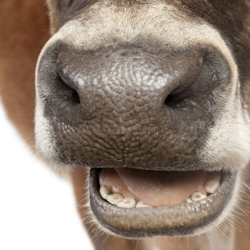 Close-up on a snout of a Jersey cow (10 years old) royalty free stock images