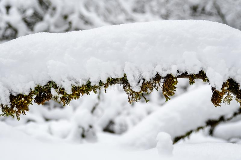 Close up of snow covered branch and moss as a background stock photography