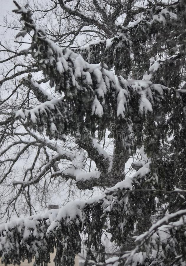 Close-up of snow-covered trees and branches on the background of a blizzard and blizzard with a soft rear angle stock photography