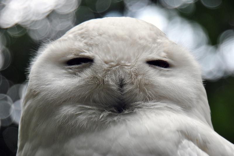 Close-up of a snow owl royalty free stock photo