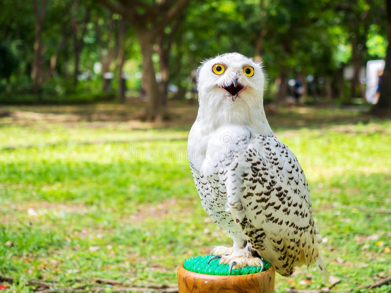 Close up on snow owl in the outdoor stock image