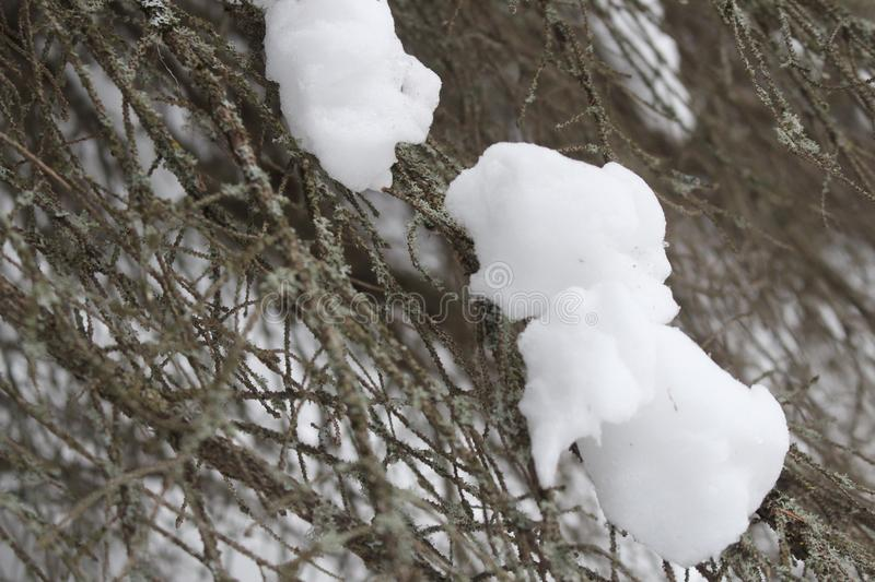 Close up on snow on tree branch in winter royalty free stock image