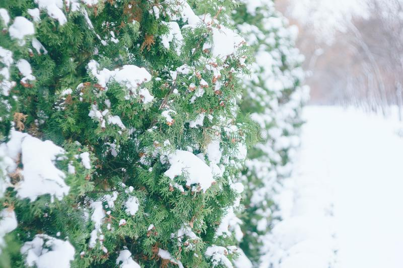 Close up of snow on tree. Christmas winter background. Thuja tree green branch covered with snow in winter park alley. Christmas evergreen tree in the forest royalty free stock photos