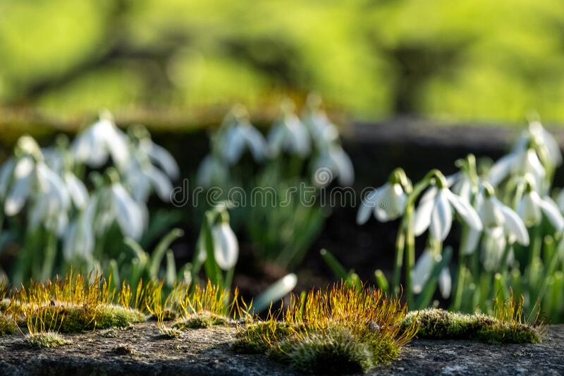 Close up of snowdrops Galanthus in the sunshine, photographed at Chiswick House and Gardens, with moss in the foreground. stock images