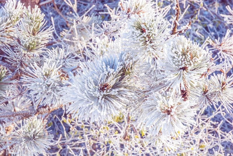 Close-up of snowy conifer tree in winter time. White needles. Seasonal natural scene. Purple photo filter stock photos