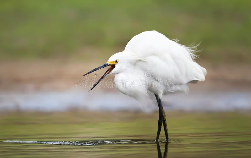 Close up of a snowy egret catching fish royalty free stock photos