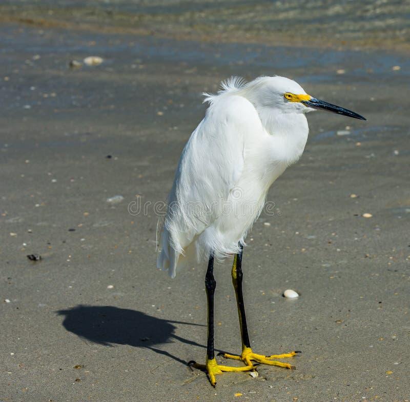 Portrait of a Snowy Egret stock photo