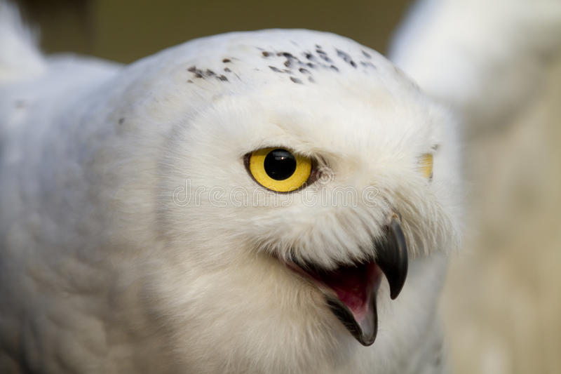 Close up of a Snowy Ol with his beak open stock photos