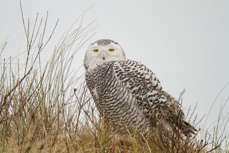 Download Close-up Snowy owl stock image. Image of environment - 40490723