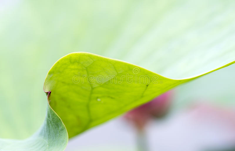 Close up soft lotus leaf abstract background. Close up of lotus young leaf texture royalty free stock photos